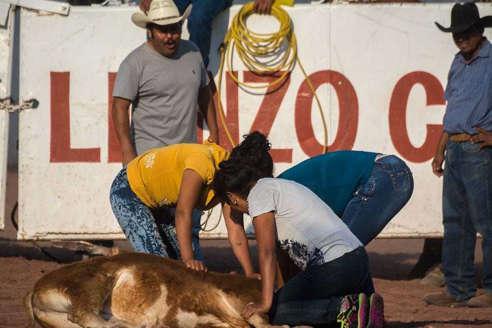 After the heifer is taken down it's necessary to restrain it long enough to fix a cord around its neck.
